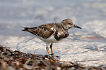 Turnstone, Arenaria interpres, feeding on beach at tideline, Florida.USA....