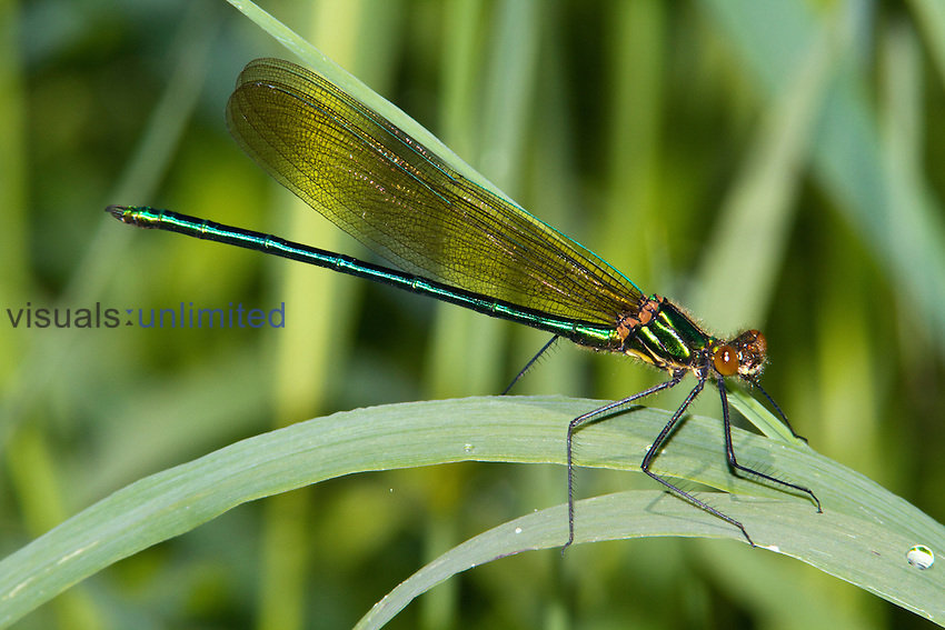 Male Superb Jewelwing Damselfly (Calopteryx amata), New Hampshire, USA