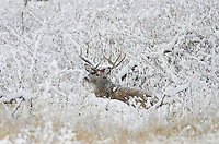White-tailed Deer buck (Odocoileus virginianus) resting during snowstorm, Western U.S., Late Fall.