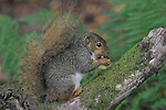 Gray Squirrel, CA