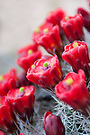 Red cactus flowers bloom in Capital Reef National Park, Utah.
