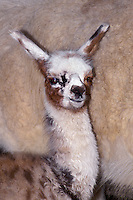 652609009 a baby llama lama glama poses next to its mother at a wildlife rescue facility - animal is a wildlife rescue animal