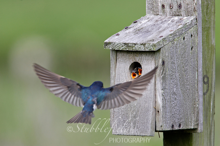 Tree Swallow (Tachycineta bicolor) male flying in to feed jjuveniles in a nest box.