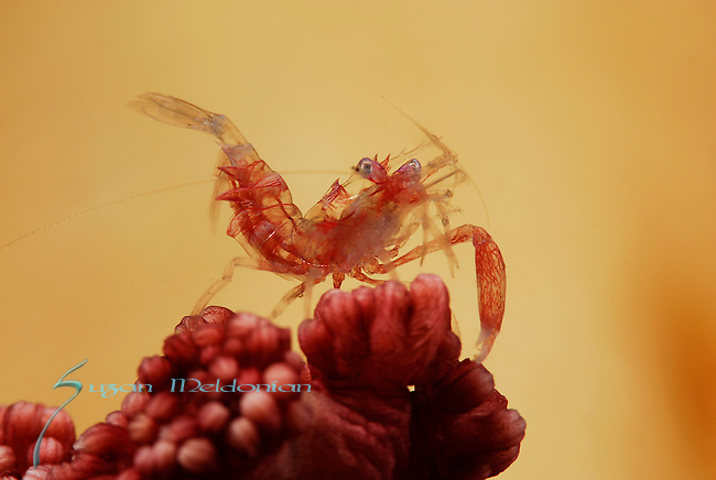 Red Claw Commmensal Shrimp , Cuapetes tenuipes, Lembeh Straits, Sulawesi Sea, Indonesia, Amazing Underwater Photography