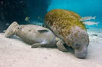 Florida manatee, Trichechus manatus latirostris, mother, nursing calf, Three Sisters Springs, Crystal River, Florida, USA
