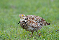 572110196 a wild lesser prairie chicken tympanuchus pallidicintus displays and struts on a lek on a remote ranch near canadian in the texas panhandle