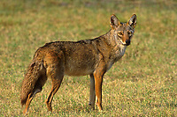 617508030 a wild adult coyote canis Latrans standing in small clearing in the rio grande valley of south texas
