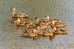 Mallard (Anas platyrhynchos) mother and almost fully grown ducklings, Gloucester, Cape Ann, eastern Massachusetts