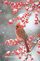 01530-176.15 Northern Cardinal (Cardinalis cardinalis) male in Common Winterberry (Ilex verticillata) in snowstorm, Marion Co. IL