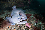 Wolffish near the Arnarnesstrýtur chimney, northern Iceland