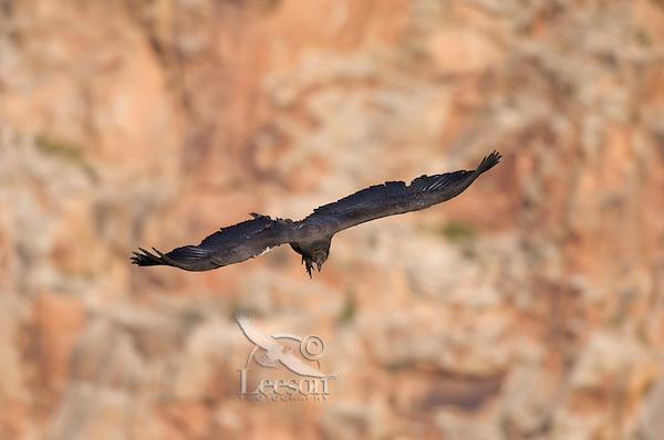 Immature California Condor (Gymnogyps californianus) soaring .  Western U.S.