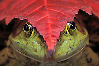Bullfrog (Rana catesbeiana) & red maple leaf..Autumn. North America..