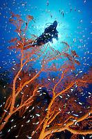 Melithaea ochracea und Parapriacanthus ransonnet, Taucher mit Knoten-Seefaecher und Glasfischen Scuba diver with Knotted fan coral and Pigmy sweeper, Jemeluk, Cemeluk, Amed, Bali, Indonesien, Indopazifik, Bali, Indonesia Asien, Indo-Pacific Ocean, Asia