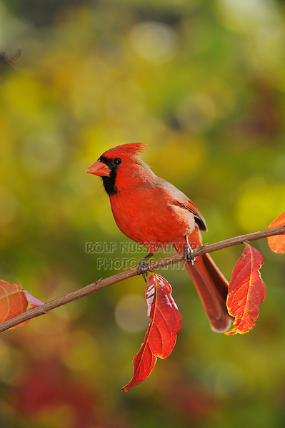 Northern Cardinal (Cardinalis cardinalis), male perched on fall color branch of Crape myrtle (Lagerstroemia indica), New Braunfels, Hill Country, Central Texas, USA