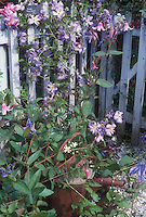 Clematis Prince Charles climbing blue picket fence with rustic watering can and several other kinds of clematis vines in flower togethe, including Clematis integrifolia at base