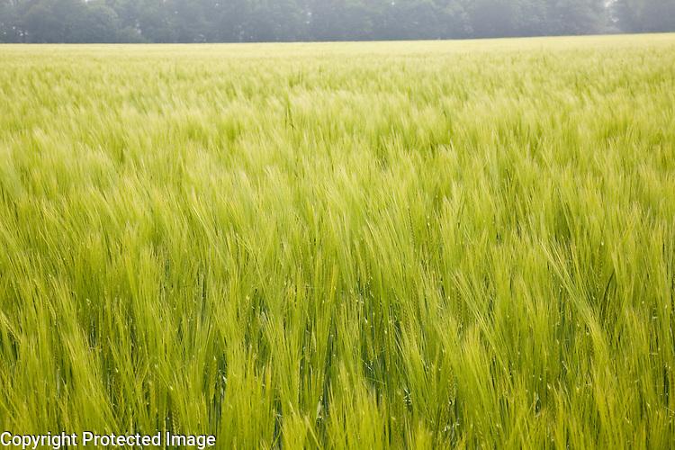 Field of green young barley crop in Shottisham, Suffolk, England