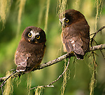 Saw-whet owlets, Washington, USA