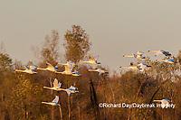 00758-02018 Trumpeter Swans (Cygnus buccinator) in flight Riverlands Migratory Bird Sanctuary St. Charles Co., MO