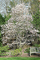 Star magnolia Magnolia stellata tree in spring bloom, garden bench, Pieris, Betula birch trees