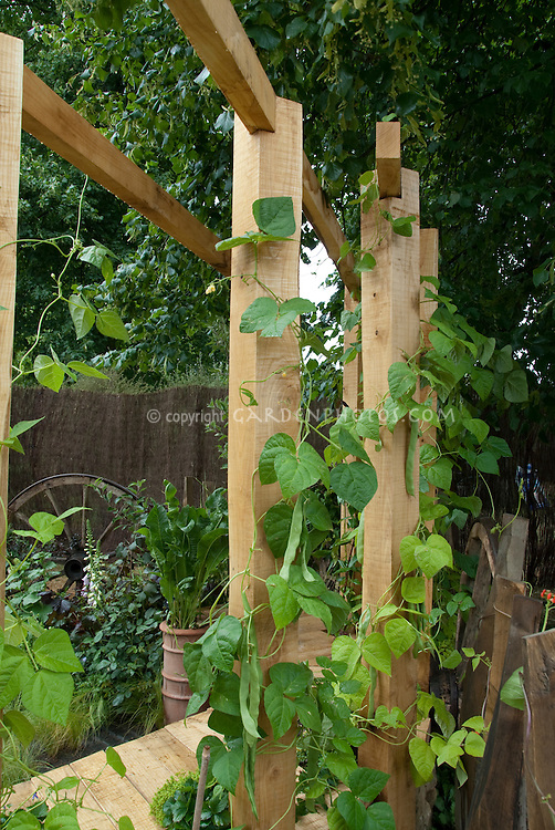 Sturdy stout wooden trellis with climbing vegetable vine Hunter bean