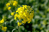 Oil seed rape in flower - Northamptonshire, April