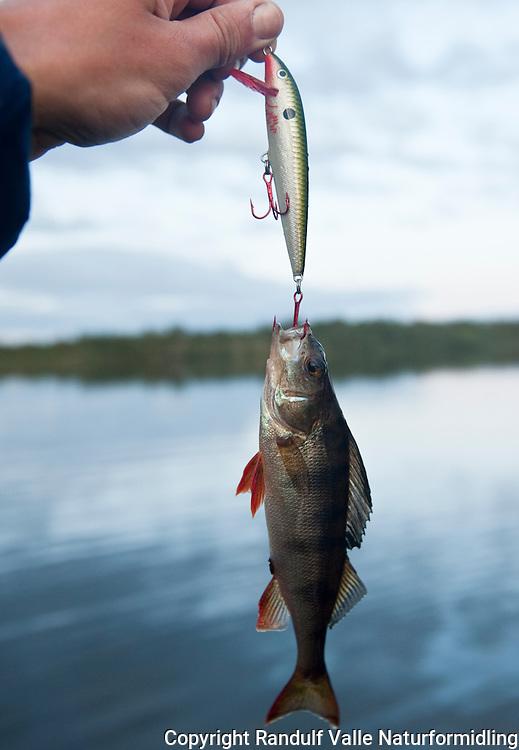 Liten abbor har tatt stor wobbler. ---- Small perch caught on large wobbler.