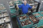 Foto: VidiPhoto<br /> <br /> NIEUWERBRUG - Duizenden stuks wild worden er donderdag verwerkt bij Wildhandel Arjan de Wit in het Zuidhollandse Nieuwebrug. Fazanten, patrijzen, eenden en hazen zijn niet aan te slepen. De kerstorders stromen nu al binnen. De laatste jaren wordt er steeds meer wild geconsumeerd, maar dit jaar constateert De Wit zelfs een stijging van zo'n 20 procent. En hoewel er door de vogelpest dit jaar in Nederland niet gejaagd mag worden, is er aanvoer genoeg uit Engeland, Ierland en Schotland. Ook Nederlandse jagers gaan daar naar toe om wild te schieten. De forse stijging van de wildconsumptie in het algemeen en met Kerst in het bijzonder, is volgens de wildhandelaar te danken aan het positieve image van gevogelte uit de natuur. &quot;Het is het meest gezonde en natuurlijke stuk vlees wat er maar te krijgen is. De beste biologische kip is nog altijd de fazant.&quot; Volgens De Wit is er in Groot-Britanni&euml; wild in overvloed, waardoor er ondanks het jachtverbod in ons land, zeker geen sprake is van een tekort.