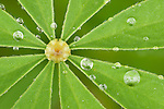 lupine leaf with water