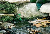 Pickerel frog, Rama Palustris, meets Lizard, on small rocky stream in garden