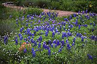 Wildflower meadow garden with lupine (Lupinus texensis) bluebonnets. Paintbrush, Verbena (Glandularia) and Fleabane (Erigeron) Lady Bird Johnson Wildflower Center