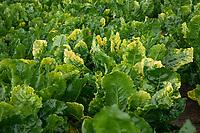 Sugar beet virus yellows - Lincolnshire, July