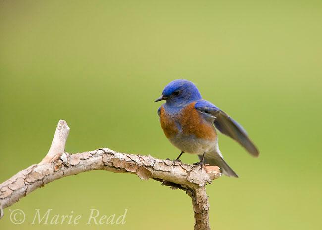 Western Bluebird (Sialia mexicana) male, Orange County, California