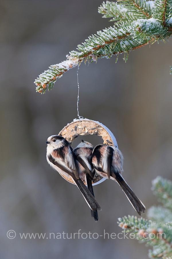 Schwanzmeise, Schwanz-Meise, an der Vogelfütterung, Fütterung im Winter bei Schnee, am Meisenring, Meisenknödel, Fettfutter, Winterfütterung, Meise, Aegithalos caudatus, long-tailed tit, Mésange à longue queue