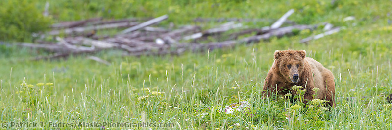 Panorama of a coastal brown bear in the lush green meadow of Katmai National Park, Alaska.