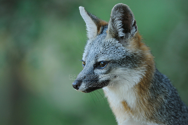 Gray Fox (Urocyon cinereoargenteus), adult, New Braunfels, San Antonio, Hill Country, Central Texas, USA