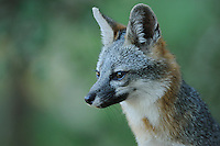 Gray Fox (Urocyon cinereoargenteus), adult, New Braunfels, San Antonio, Hill Country, Central Texas, USA