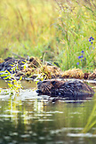USA, Alaska, North American beaver in a lake at Denali National Park