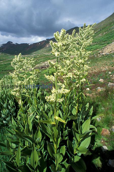Corn Lily ,Veratrum californicum, San Juan Mountains, Colorado, USA