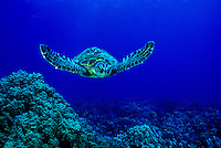 The endangered Green Sea Turtle (Chelonia mydas) is a common sight on Hawaii'a coral reefs. Hawaiian name is  Honu.