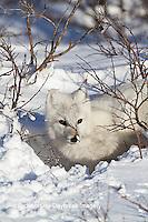 01863-01115 Arctic Fox (Alopex lagopus) in snow in winter, Churchill Wildlife Management Area, Churchill, MB Canada