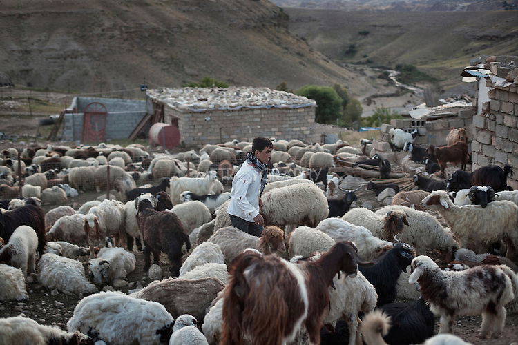 27/04/15. Awbar Village, Darbandikhan area, Iraq. -- Faisal gathers the herd in the evening.