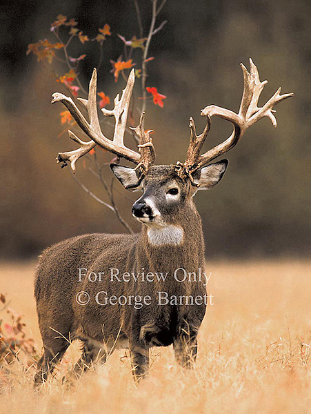 Level A Image - Reserved for Editorial Cover or Commercial Applications. Contact George Barnett Photography for other Possible Publication Rights..Image Previously Published as Editorial Cover - Bass Pro Shops Red Head Catalog 2000, Whitetail Super Bucks Calendar
