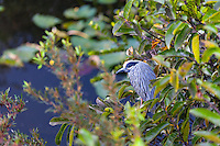 US, Florida, Everglades, Shark Valley. A sleeping Yellow-crowned Night Heron at the Observatory Tower.