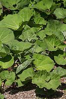 Gewöhnliche Pestwurz, Pest-Wurz, Blatt, Blätter erscheinen nach der Blüte, Petasites hybridus, Butterbur, Umbrella Plant