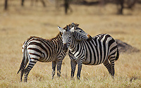 Two affectionate zebras