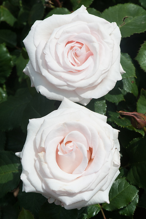 Rosa Belmonte ('Harpearl'), late June. A pale pink floribunda rose, with medium scent. From Harkness Roses, 2007.