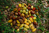 BELIZE, Punta Gorda, Toledo District, a pile of harvested Cacao fruit at the farm of Justino Peck in the Maya village of San Jose