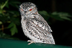 Tawny Frogmouth shows red-eye at night, Brisbane, Australia.   //    Tawny Frogmouth - Podargidae: Podargus strigoides. Length to 50cm, wingspan to 95cm, weight to 500g. Also known as Tawny-shouldered Frogmouth, Mopoke (incorrectly - that is the Boobook Owl). Occurs in open woodland throughout Australia, Tasmania, southern New Guinea. Nocturnal, preys on insects and small vertebrates on the ground which are generally pounced upon from a perch - the wide beak is not used for catching flying insects. Weak anisodactyl toes useless for catching prey.  Also known to roost in family parties either in trees, or on the ground (uncommon). This bird occasionally visits the deck of a suburban house at night. IUCN Status: Least Concern.     //Eric Lindgren//