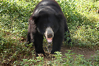 Indian black-bear growling.