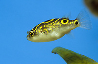Palembang-Kugelfisch, Tetraodon biocellatus, Tetraodon palembangensis, Tetraodon steindachneri, Chelonodon biocellatus, figure eight puffer, figure 8 puffer, eyespot puffer, pufferfish